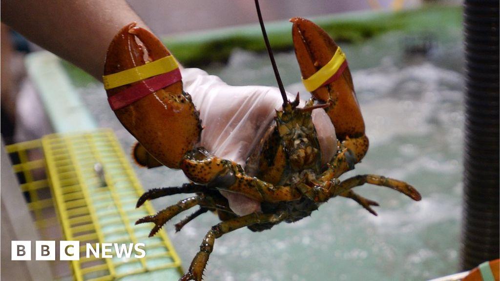 Restaurant sedates lobsters with marijuana