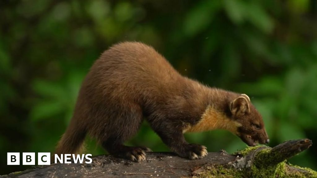 Pine Martins returned to Forest of Dean after facing extinction