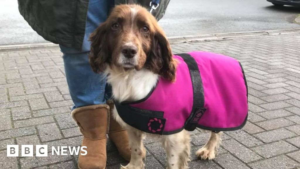 Ernie The Spaniel Newport Woman S Fight To Keep Cardiff Stray
