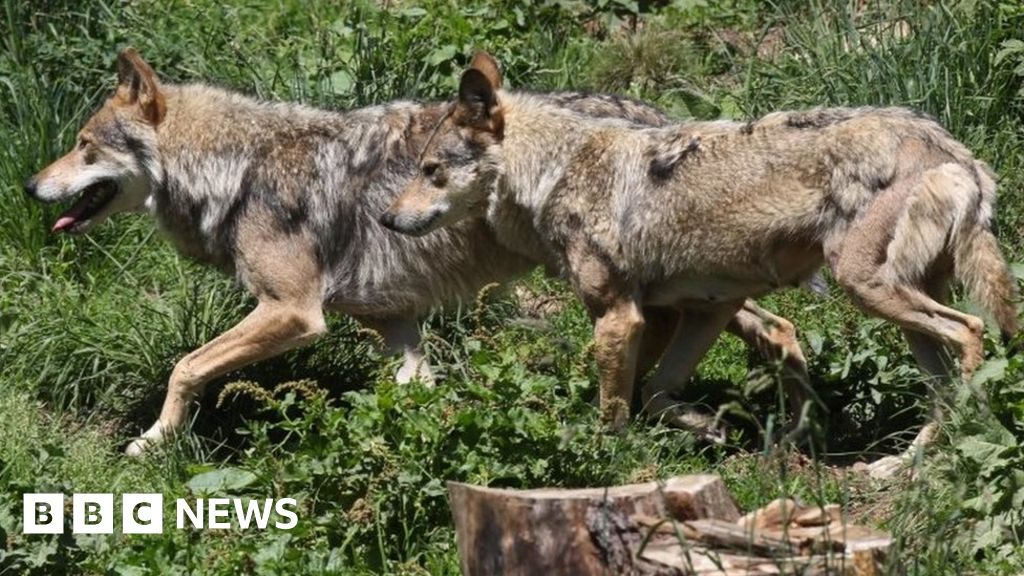 France to let wolf population grow