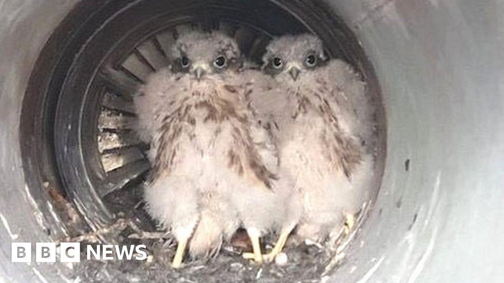Eagle eyes spot kestrel chicks in jet plane exhaust