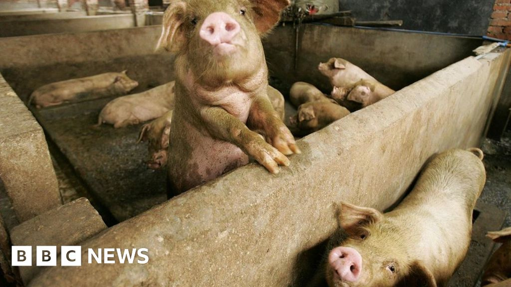 AI does grunt work on China's pig farms - BBC News