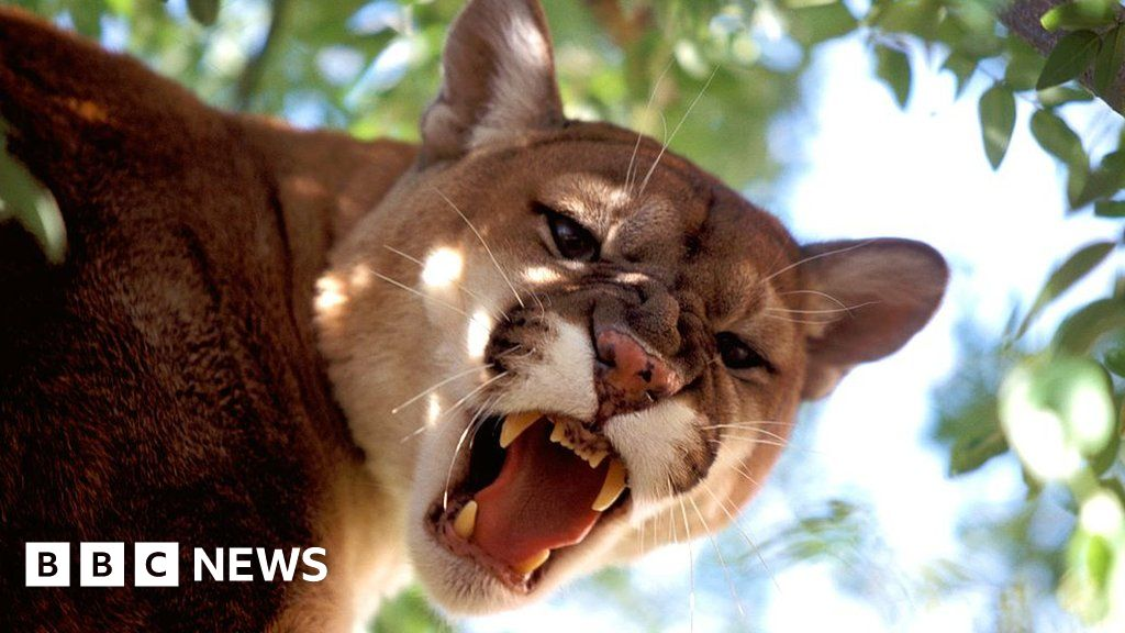 What cougar means
