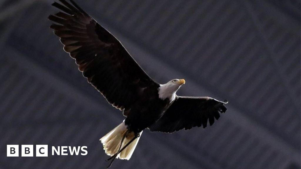 American college football: Huge bald eagle lands on fans ...
