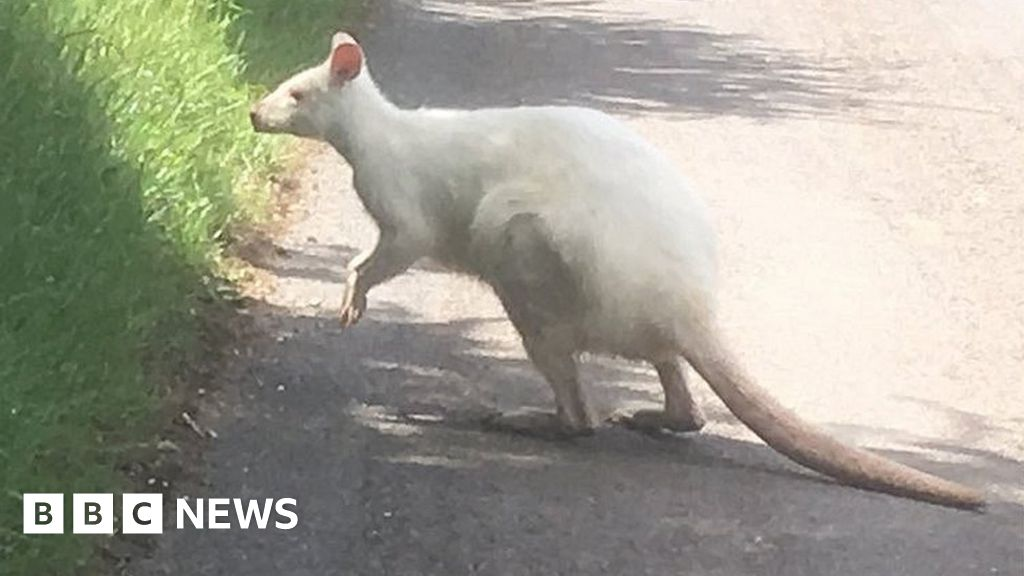 Albino Wallaby Photographed On Wiltshire Country Lane Bbc News