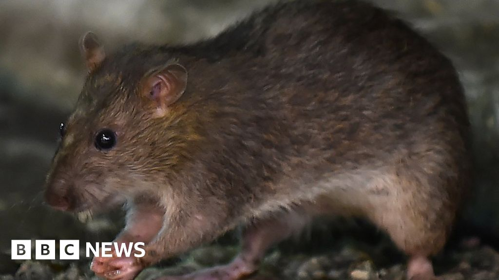Coronavirus: Why more and more rats are detected during the quarantine
