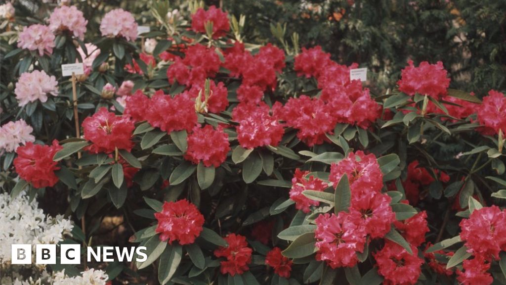 Tourists Rescued From Rhododendron Forest In Killarney Bbc News