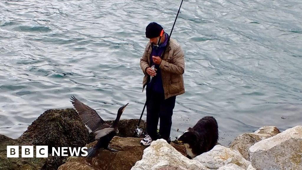 Brixham angler catches fish for injured cormorant - BBC News