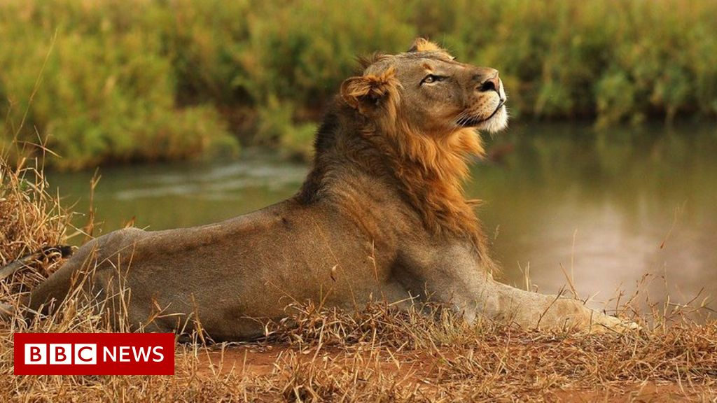 Lions eat suspected big cat poacher