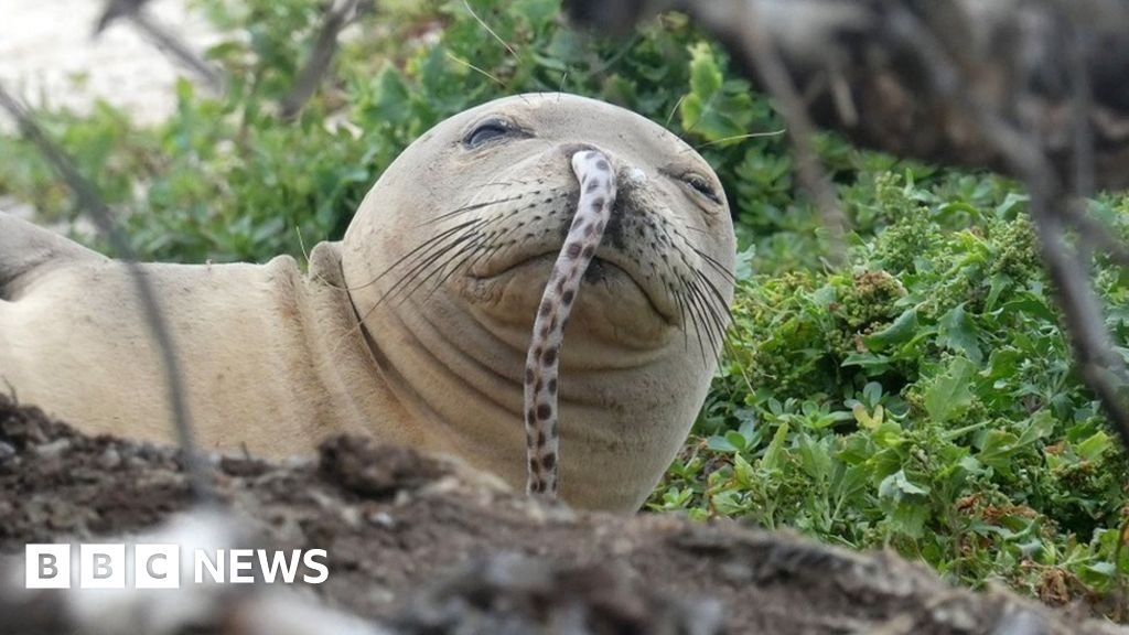 Sello en peligro de extinción con la anguila en su nariz sigue siendo un misterio