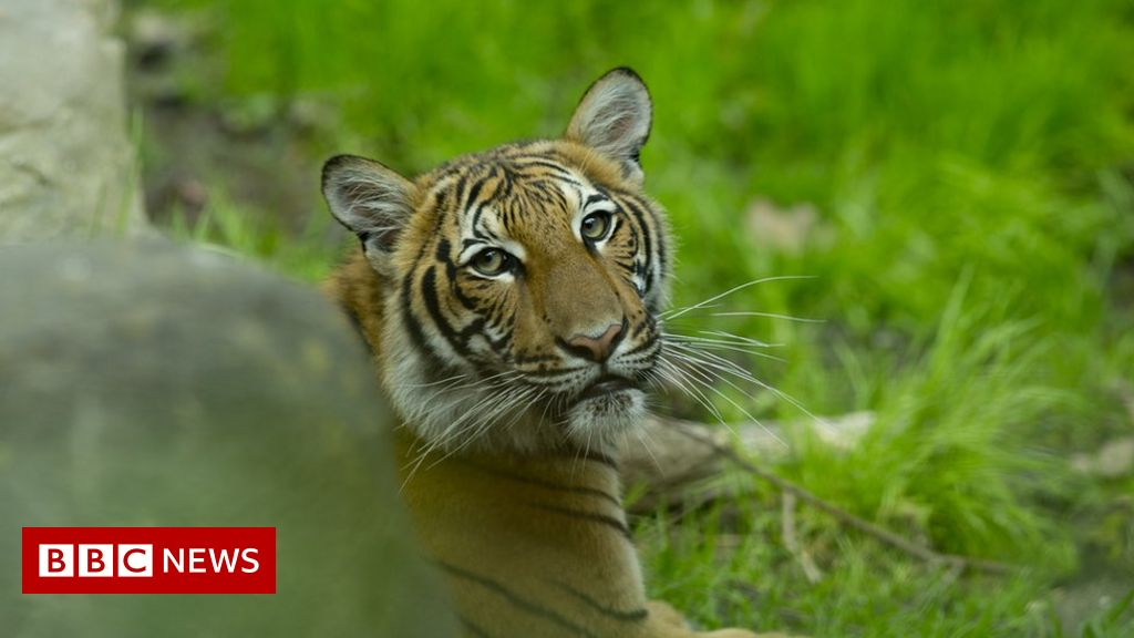 Tiger at US zoo tests positive for coronavirus
