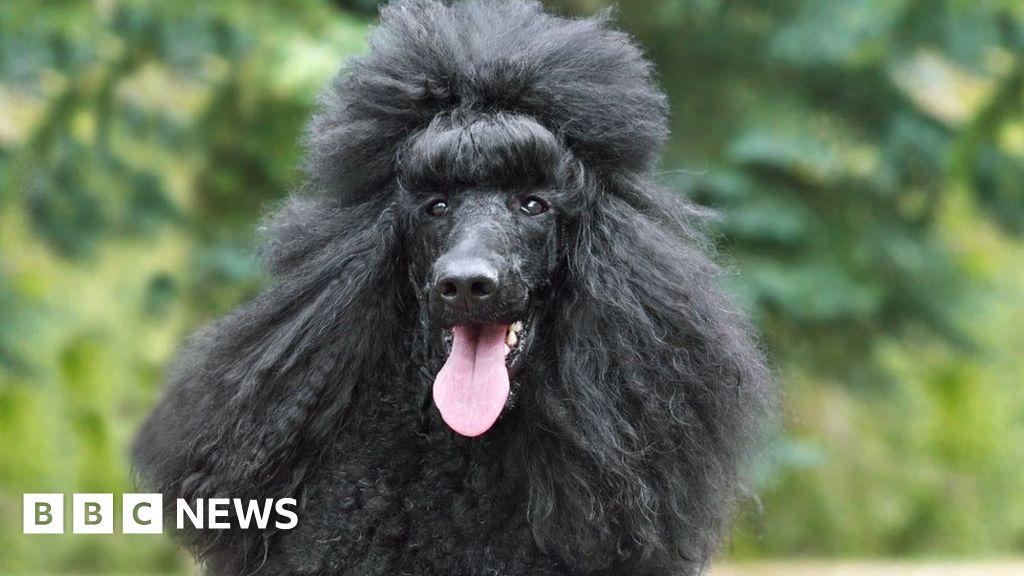 German 'dead fraudster' exposed by pet poodle in Majorca