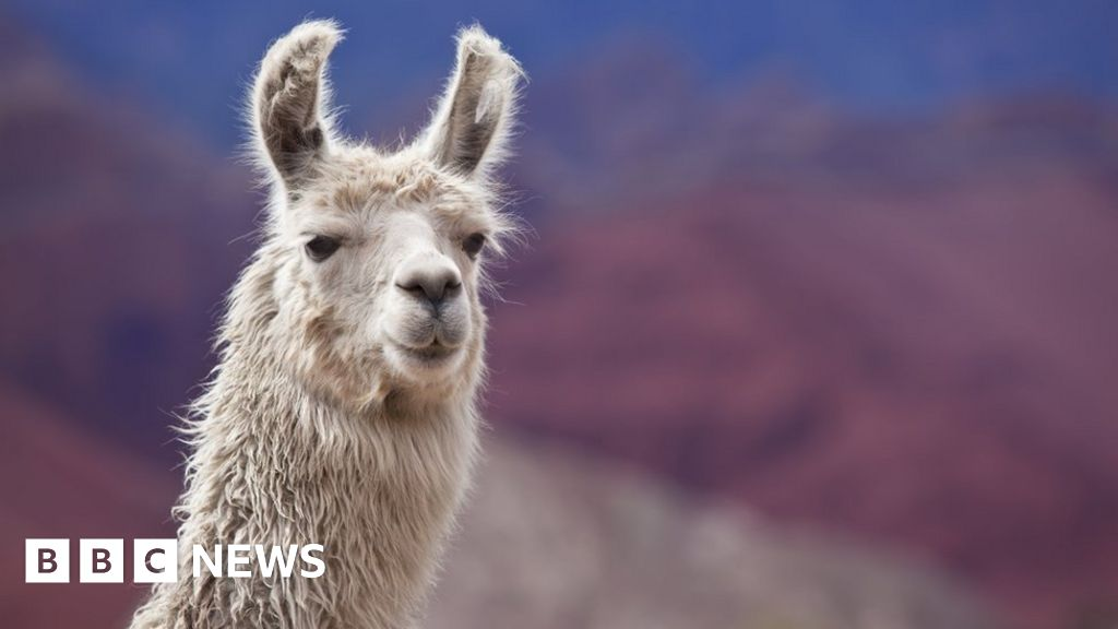 Llama blood clue to beating all flu