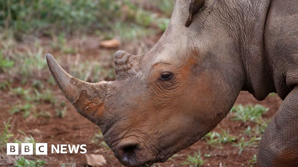 rhinoceros poaching Rhino poaching has soared in recent years in parts of africa ol pejeta claims that a rhino horn can bring in $12,000, but exact prices are hard to measure.