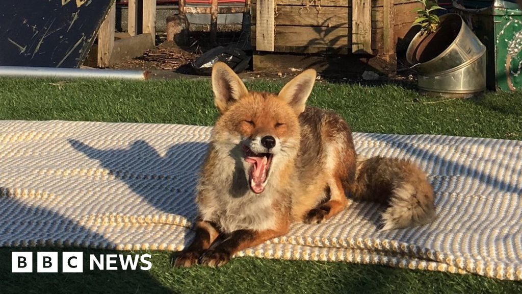 Fox On A Hot London Roof Trends On Twitter Bbc News