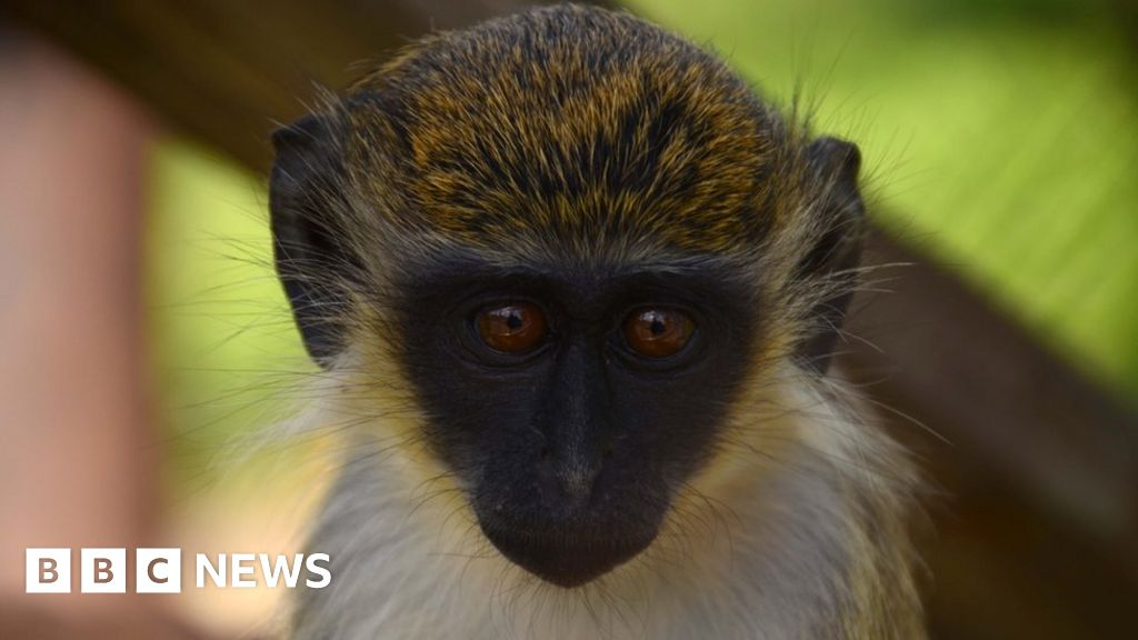 Monkey problem: St Kitts great attraction becomes great headache