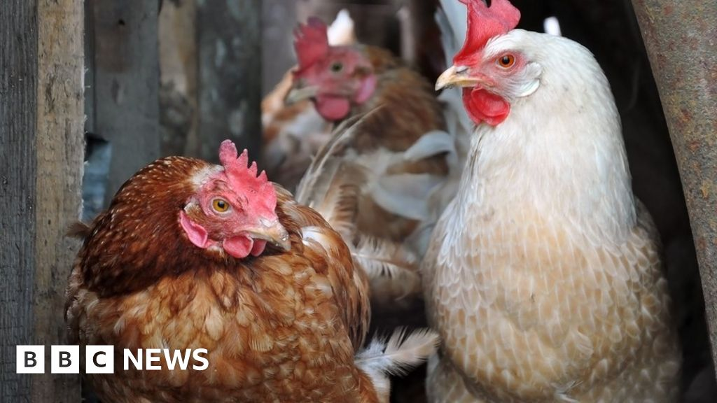 Bird flu outbreak at Suffolk farm leads to chicken cull