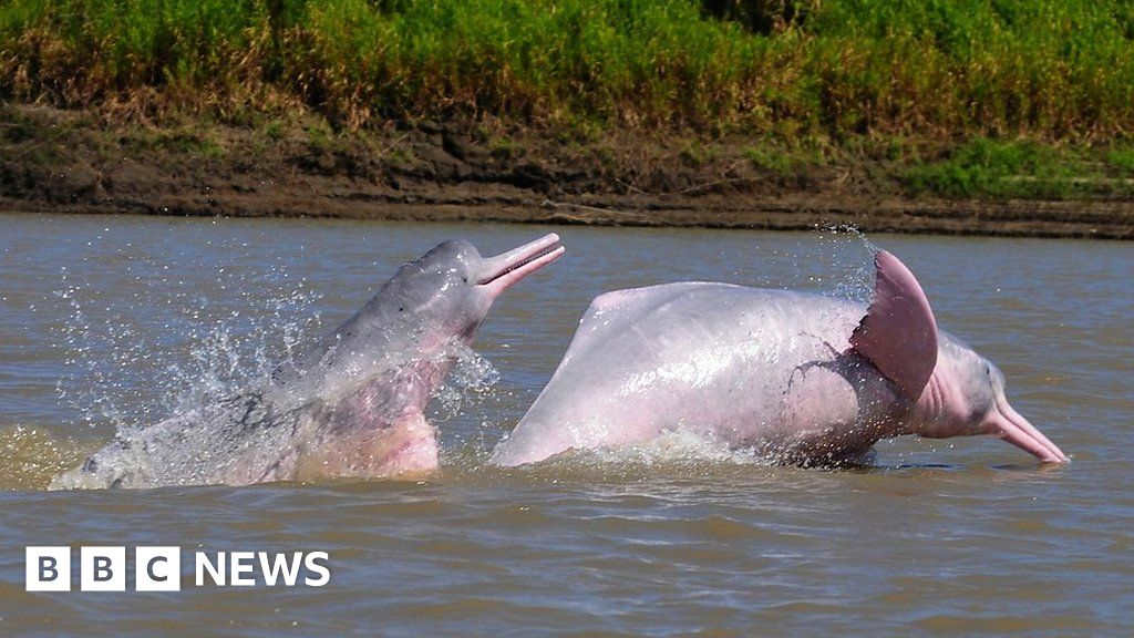 d970205a08 The man risking his life to save pink dolphins - BBC News