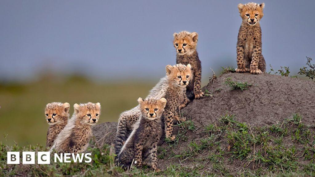 Endangered Cheetah growled in award-winning photos