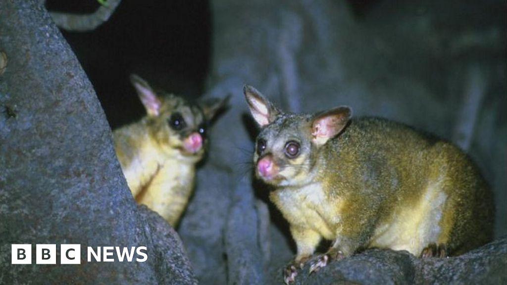 NZ's war on stoats, rats and possums - BBC News