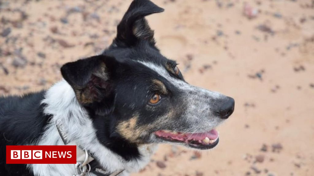 Deaf Norfolk sheepdog Peggy learns 'sign language'