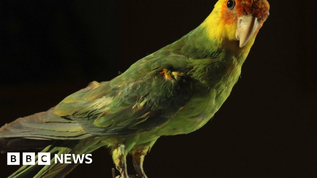 Humans 'sole culprits' in US parrot extinction