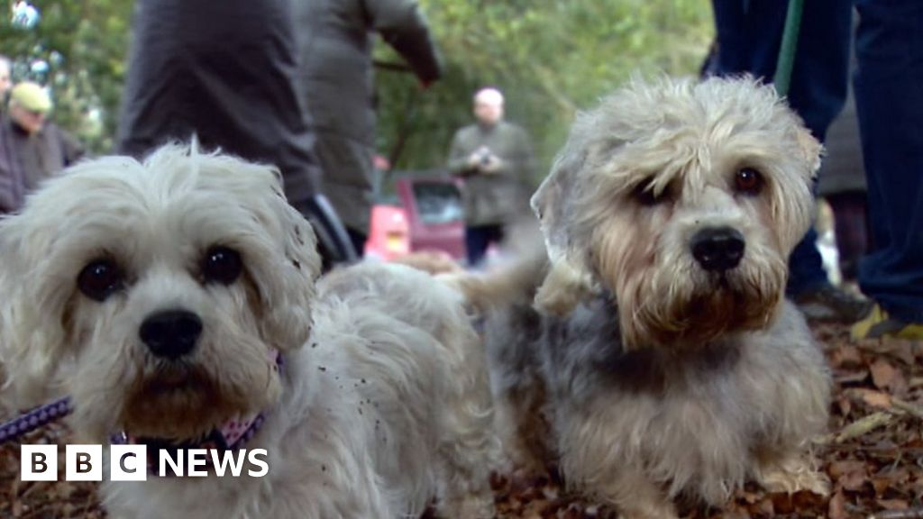 kiss of life hope for rare dandie dinmont terrier breed bbc news
