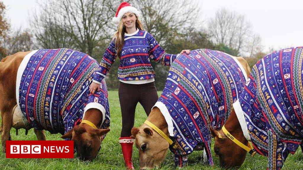 Jersey cows model matching Christmas jumpers - BBC News