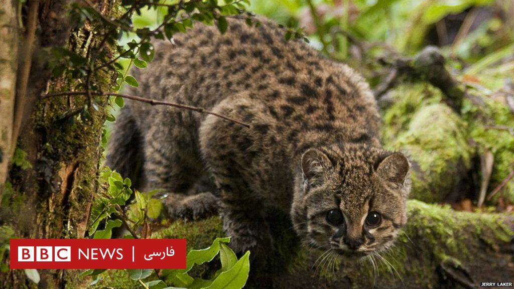 'گربه پلنگ کوچک' شاید از خطر انقراض نجات یابد