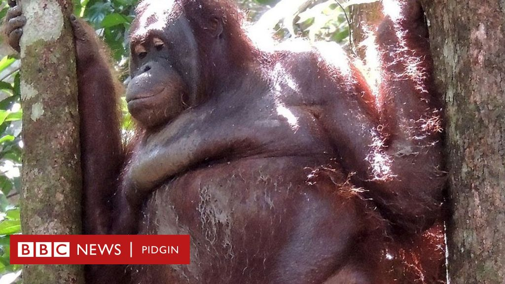 'Prostitute' orangutan: Dem shave her hair, wear her makeup come force her  to dey sex men