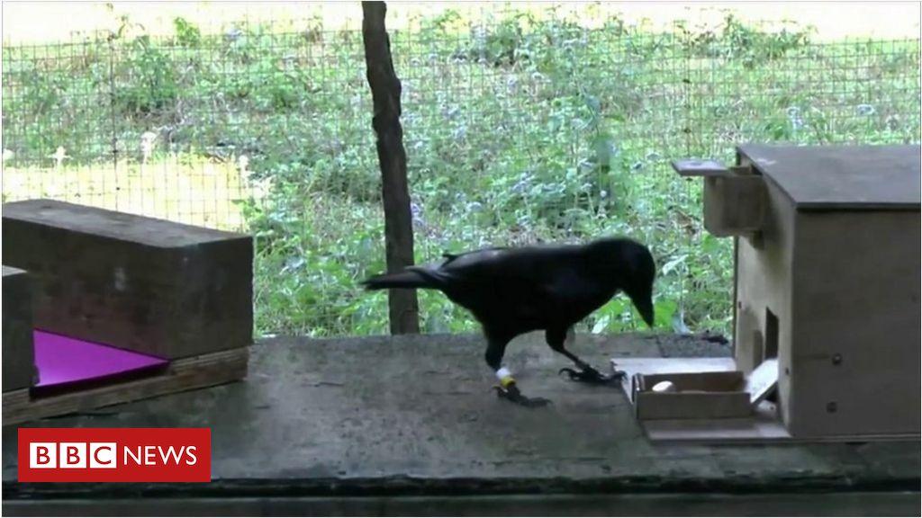 ave mais inteligente do mundo  o corvo que consegue operar