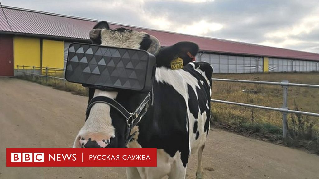 коронавирус у коров