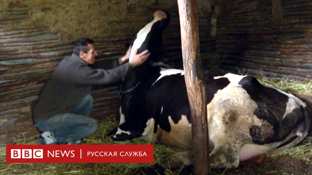Секс на русси с коровами