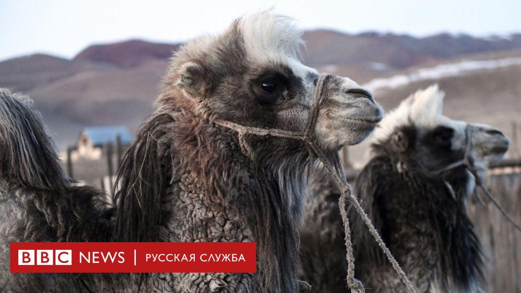 коронавирус верблюды