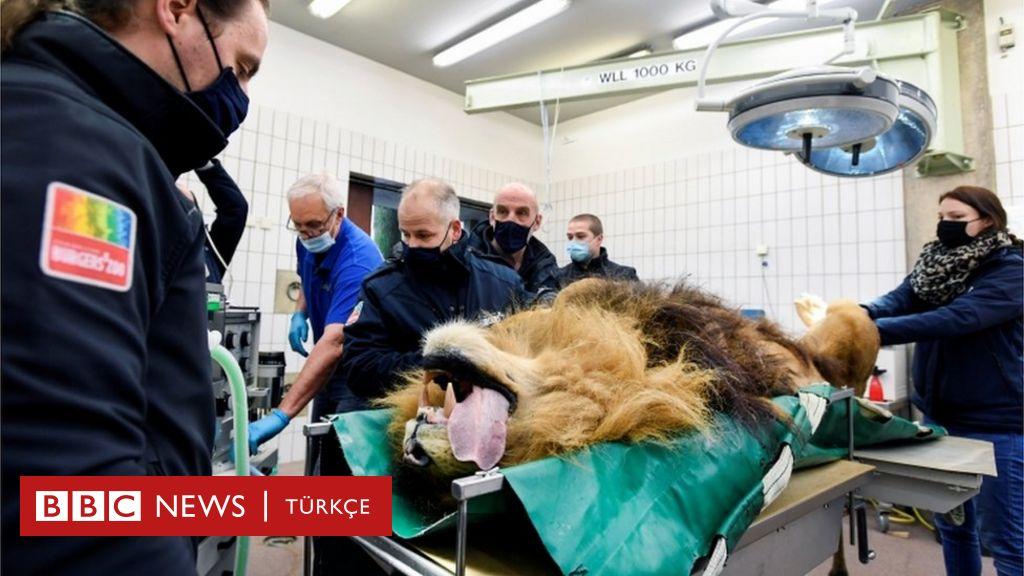 Thor: Hollanda'da beş yavrusu olan aslana vasektomi yapıldı