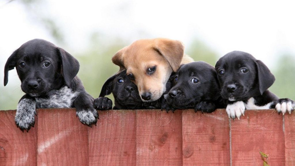 Pet Shop Puppy Sale Ban Considered By Ministers Bbc News
