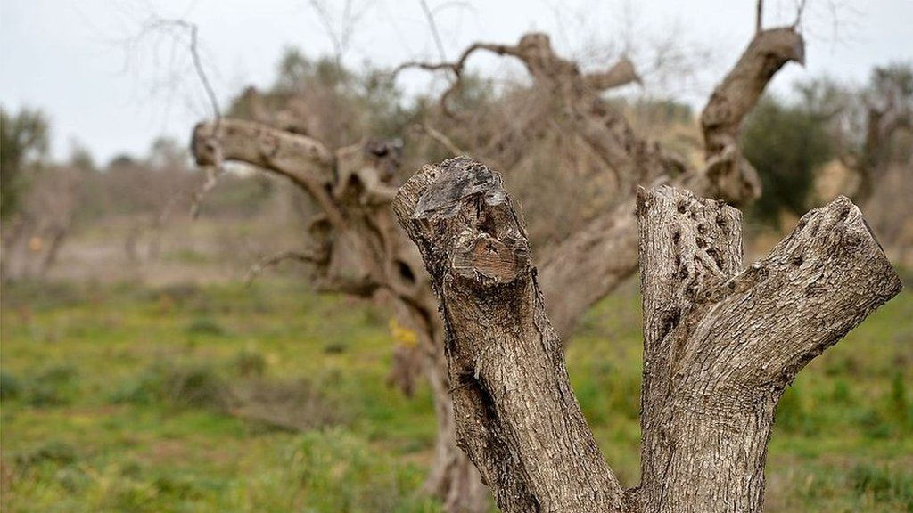 Infected olive trees in the Puglia region
