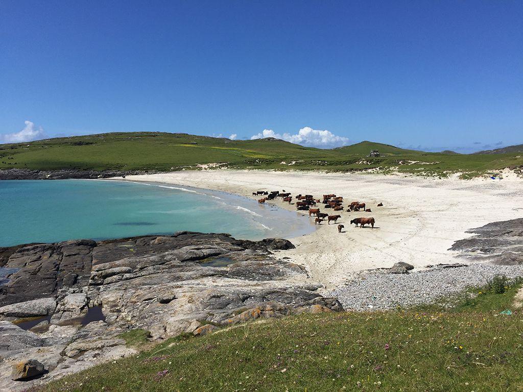 Cattle on Vatersay beach