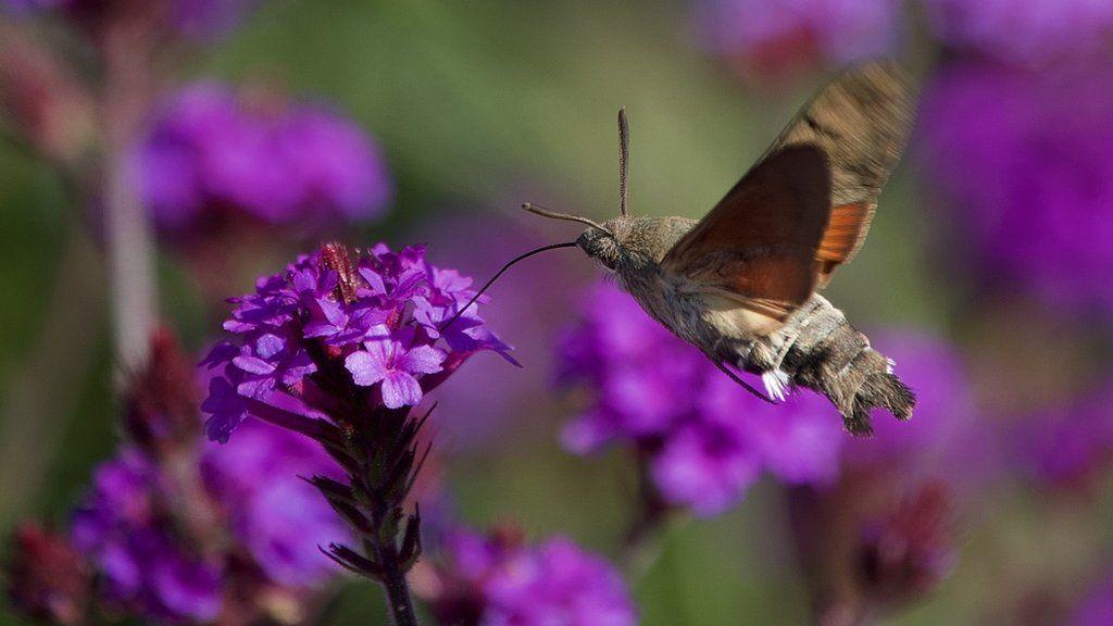 October 2020 - a Humming Bird Moth feeding in the walled garden
