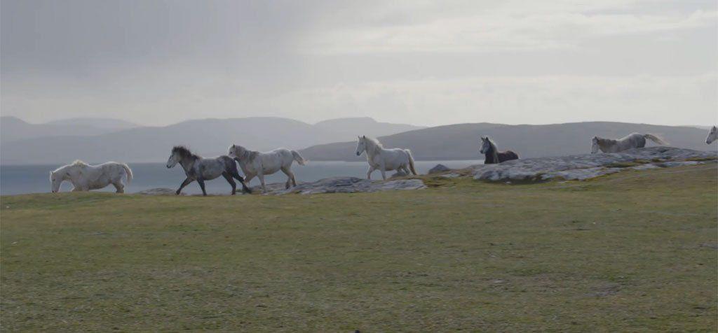 Eriskay ponies at Eriskay FC's football pitch