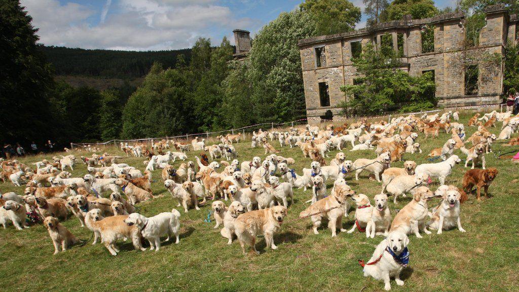 mass gathering of golden retrievers in highlands bbc news