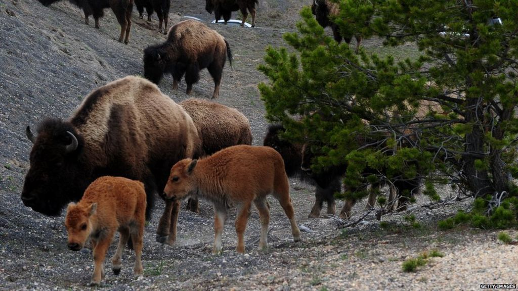 Yellowstone Park advises against selfies with bison - BBC News