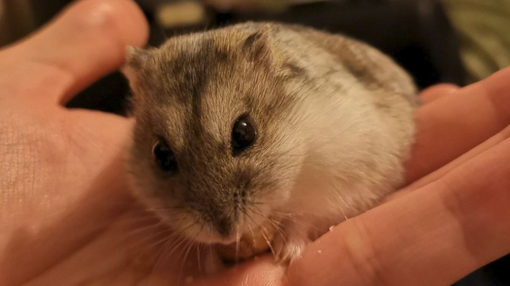 German court halts hamster space experiments - BBC News