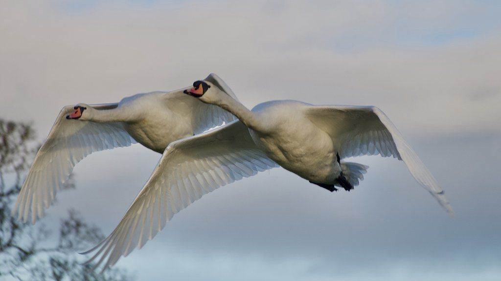 Swan fly past over the top pond
