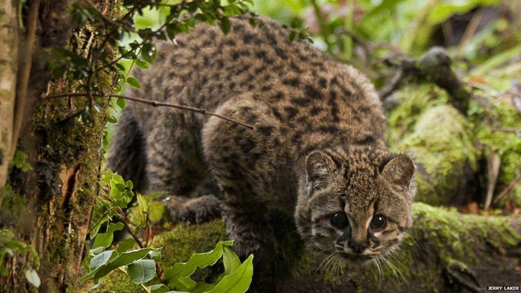 Foltos pampamacska ( Leopardus pajeros)