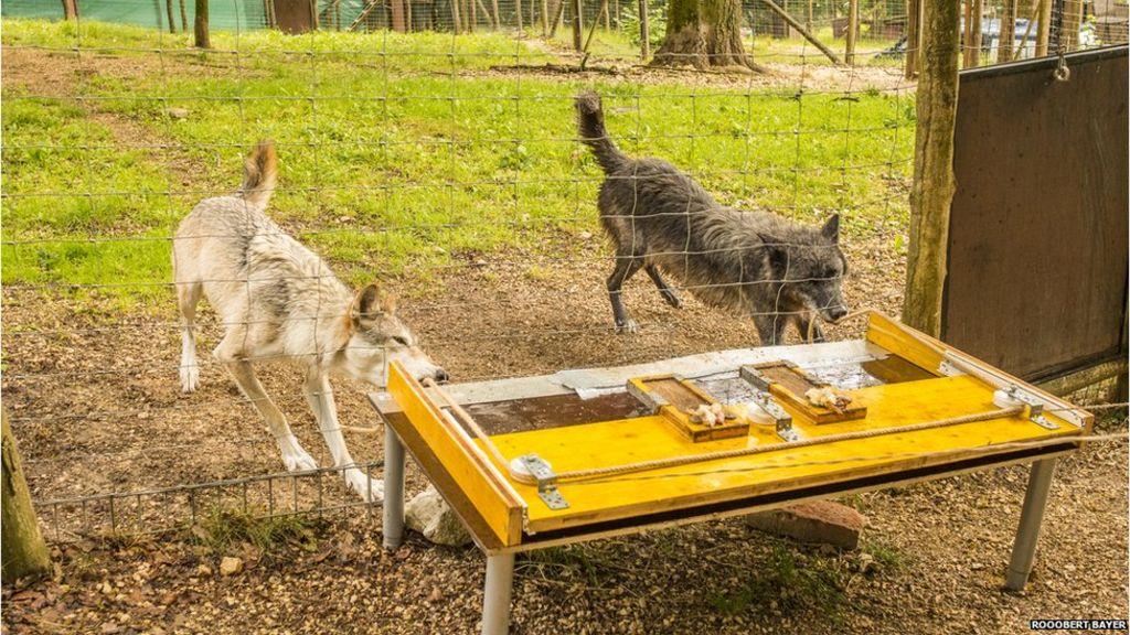 'Big, bad wolf' image flawed - scientists