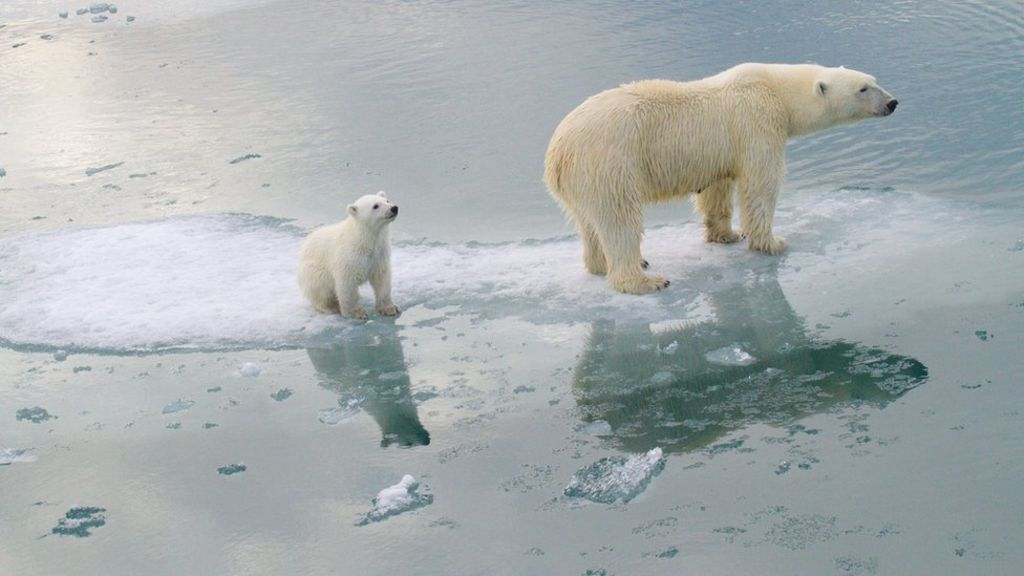 Climate change: Polar bears could be lost by 2100 - BBC News