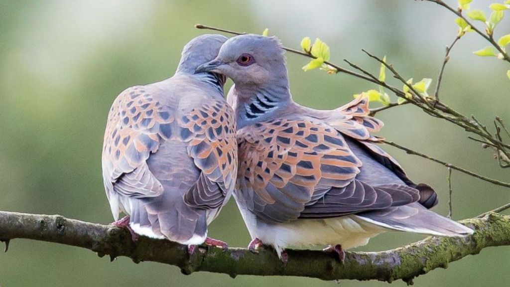 Campaign To Create Turtle Dove Habitats In North Yorkshire Bbc News