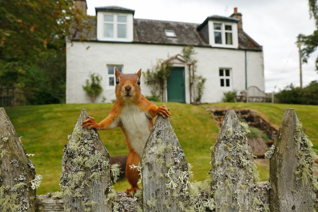 Red squirrel on a fence