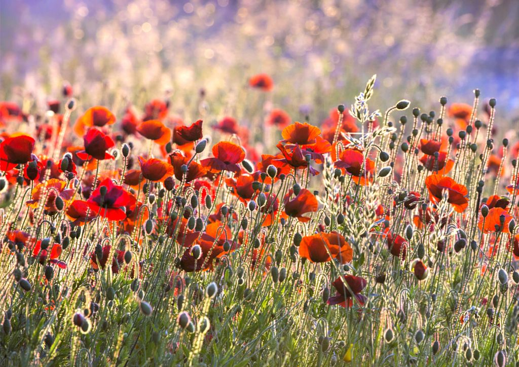 Poppies by Nigel Burkitt